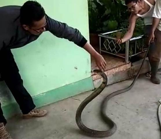 Makanan Melimpah Jadi Penyebab Kobra Jawa Hidup Di Perkotaan